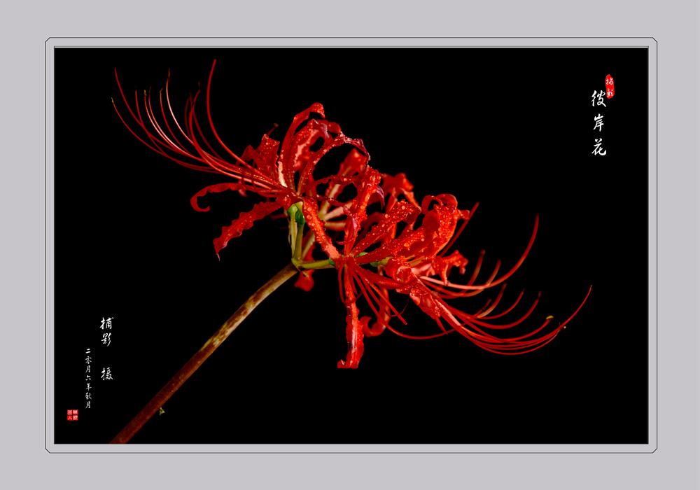 彼岸花的画法-彼岸花铅笔画怎么画/彼岸花的画法步骤图片/红色彼岸花